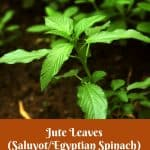 Benefits of Jute leaves, saluyot, egyptian spinach