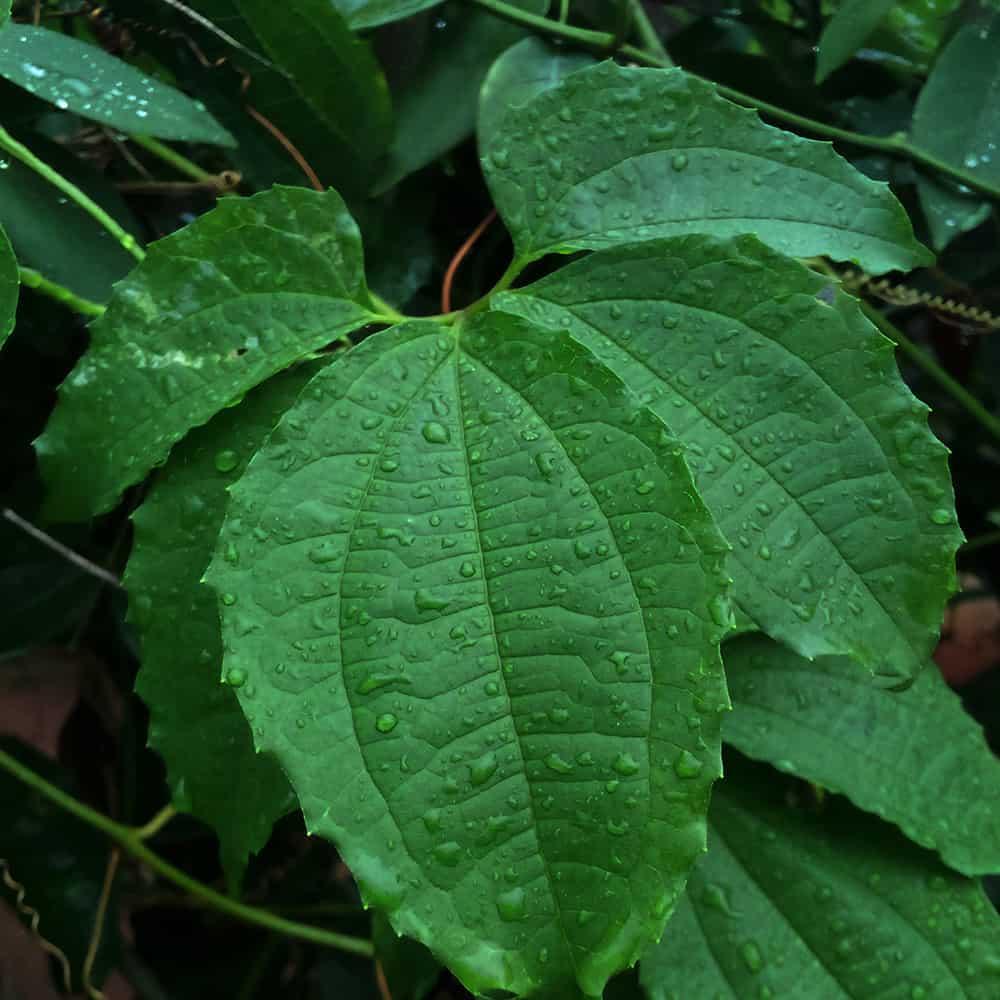 fluted pumpkin leaves